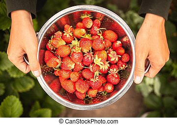 Female hands holding freshly picked strawberries