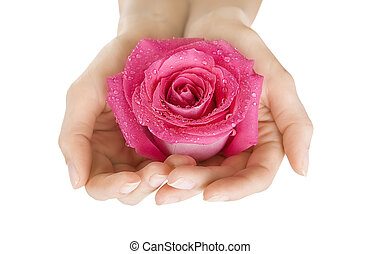 Female hands holding rose on white, Close-up isolated - ...