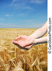 Female hands holding something over wheat field