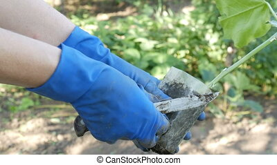 Female hands in blue gloves are holding plant with a root ready for planting