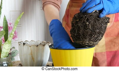 Female hands in blue gloves are transplanted home flowers in a new beautiful yellow pot. The large root of the houseplant is re-rooted