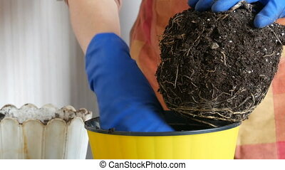 Female hands in blue gloves are transplanted home flowers in a new beautiful yellow pot. The large root of the houseplant is re-rooted close up