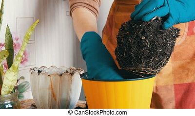 Female hands in blue gloves are transplanted home flowers in...