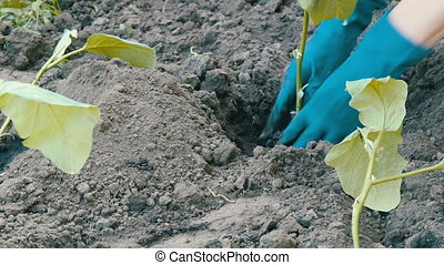 Female hands in blue gloves planting a seedlings of eggplant...