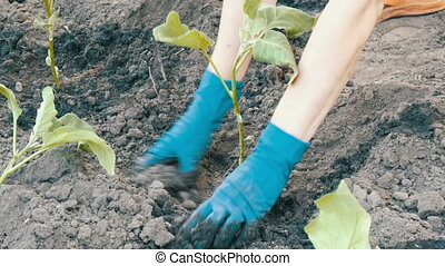 Female hands in blue gloves planting a seedlings of eggplant with root