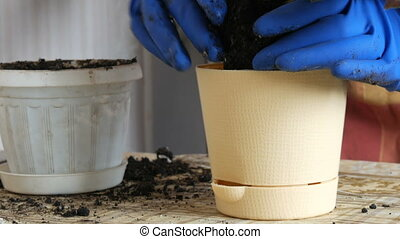 Female hands in blue gloves transplant the home flowers of violets into new beautiful beige pot close up