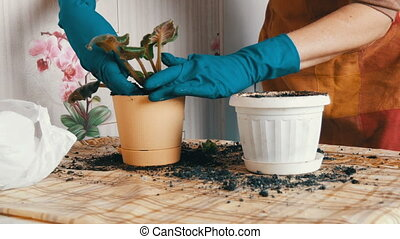 Female hands in blue gloves transplant the home flowers of violets into new beautiful beige pot