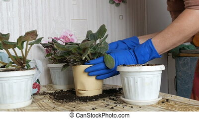 Female hands in blue gloves transplant the home flowers of...