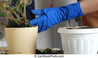 Female hands in the blue gloves transplant the home flowers...