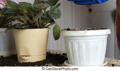 Female hands in the blue gloves transplant the home flowers of violets into a new beautiful beige pot. Vintage watering pot for flower watering