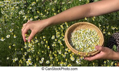 female hands pick camomile herbal flower blooms to wicker dish. 4K