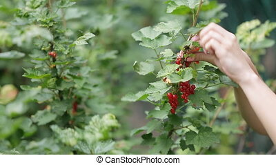 Female hands picking currant berries with twigs in summer,...