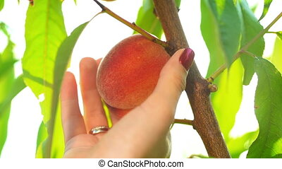 Female hands pluck ripe fruits from peach tree in summer...
