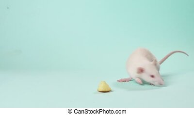 female hands release a cute little white rat on a blue ...