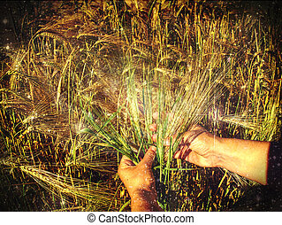 Female hands touch golden barley corns in field.