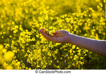 Female hands touching rape flowers. touch with nature, ...