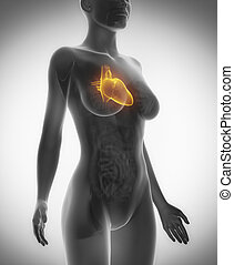 Female heart anatomy x-ray scan