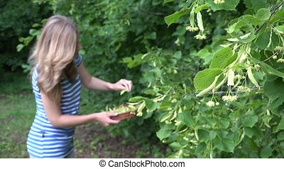 female herbalist pick linden flowers for herbal medicine. 4K...