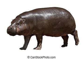 hippopotamus. Isolated over white