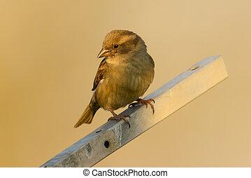 House sparrow - female House sparrow in Germany