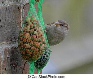 Female House Sparrow on a bird Feeder