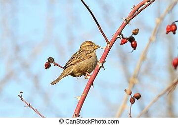 female house sparrow on twig