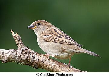 House Sparrow (Passer domesticus) - Female House Sparrow (...