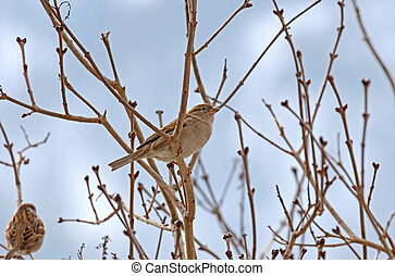 Female House Sparrow perching on a branch