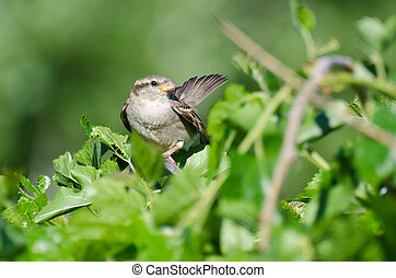 Female House Sparrow Resting in a Bush