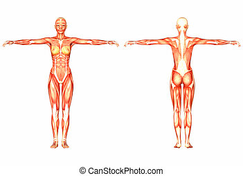 Female Human Anatomy - Illustration of the anatomy of the ...