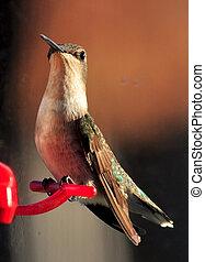 Female Hummingbird - A female hummingbird