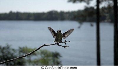 Female hummingbird lands on lake perch then flies away.