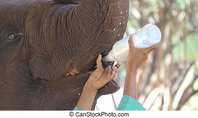 Female indian hands is feeding milk of a small elephant in zoo. Slow motion Close up