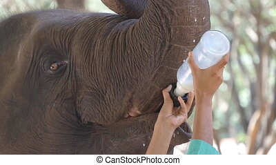 Female indian hands is feeding milk of a small elephant in...
