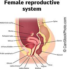 reproductive system - Female internal genital organs ...