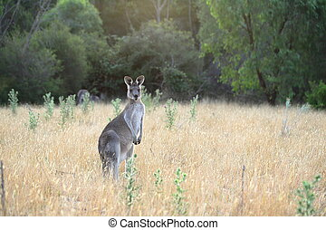 Female kangaroo with joey - Alert female eastern grey ...