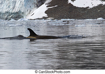 female killer whale that floats along the Antarctic coast