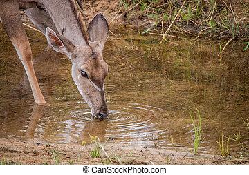 Female Kudu drinking water.