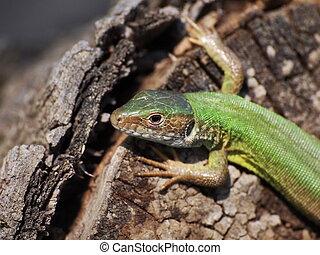 (female), lézard, vert, oriental