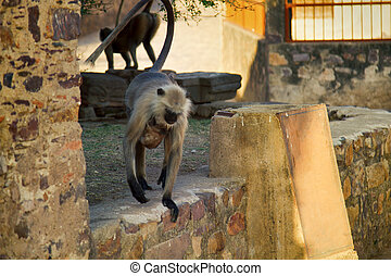 Female langur with a baby on his chest