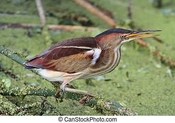 Least Bittern (Ixobrychus exilis) - Female Least Bittern (...