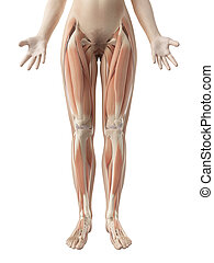 Female leg muscles - 3d rendered illustration of the female...