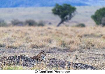 Female leopard at dusk in the Masai Mara