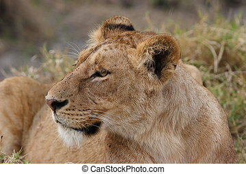 Female lion and prey animal in high grass.