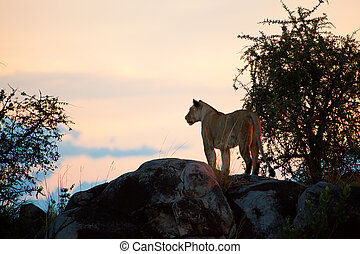 Female lion at sunset. Serengeti, Tanzania - Female lion on...