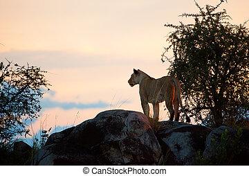 Female lion at sunset. Serengeti, Tanzania - Female lion on ...