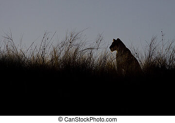 Female lion at sunset
