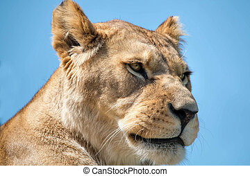 Female Lion Close Up.
