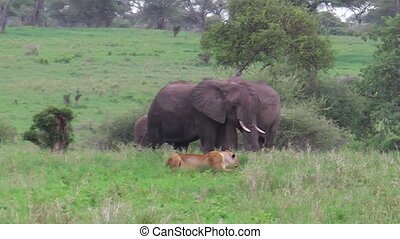 female lion hunting and looking a baby elephant, protected...