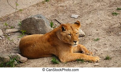 female lion in its habitat